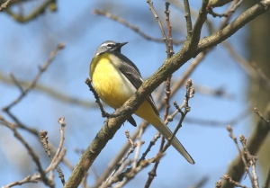 The Grey Wagtail