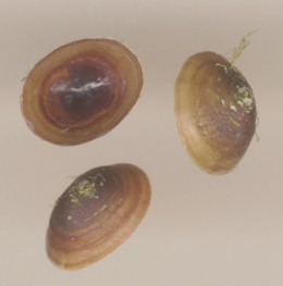 Freshwater Limpet